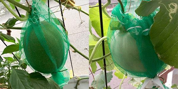 冬瓜とメロンを網で吊るす