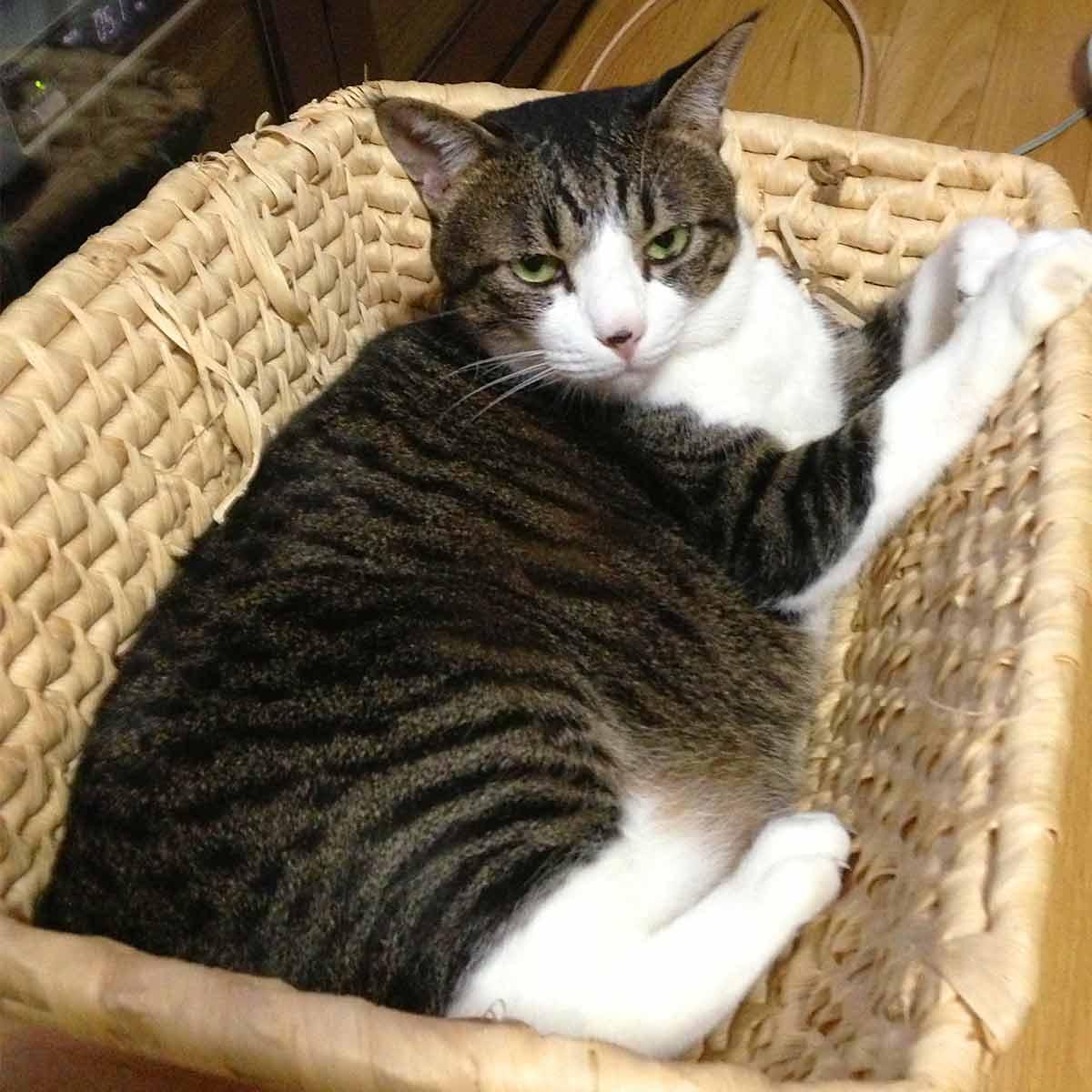 かごに入ったぽっちゃり猫
