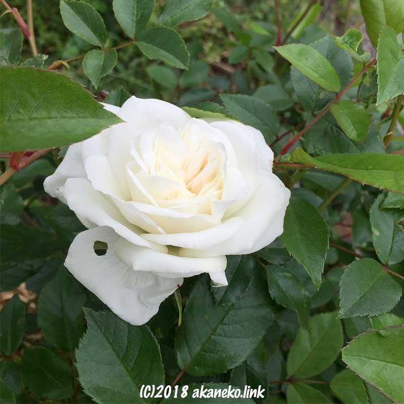 アイスバーグ(バラ)の白い花