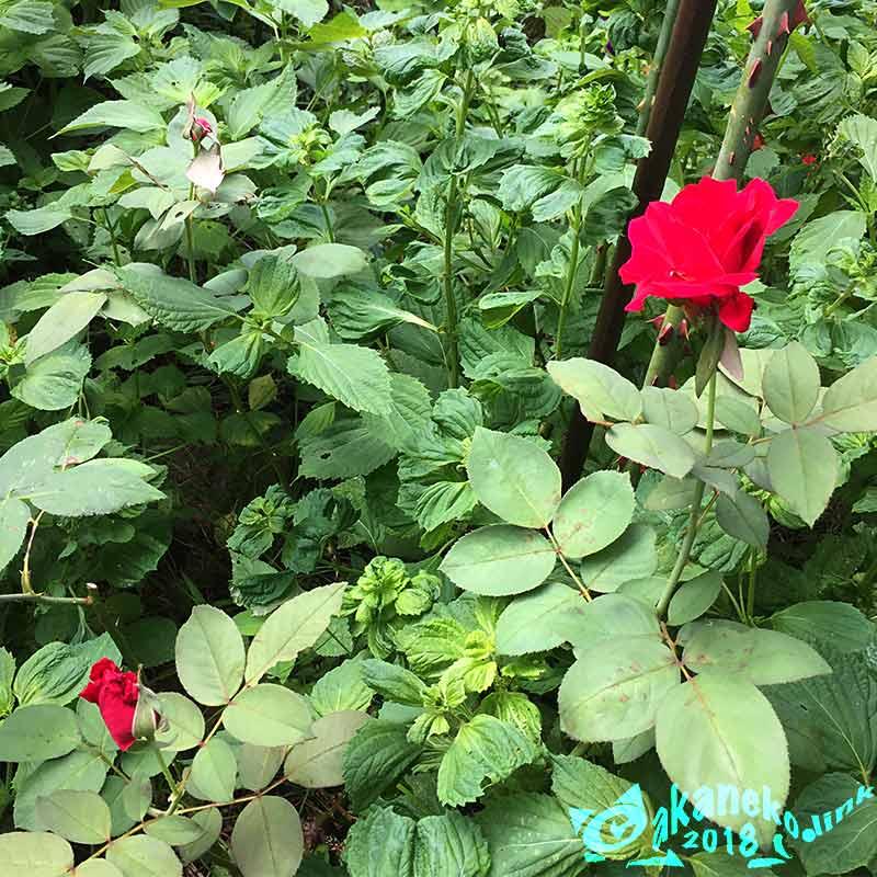 赤いバラ、ミスターリンカーン