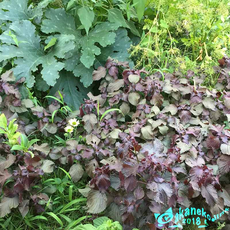 生い茂る赤紫蘇とズッキーニの葉