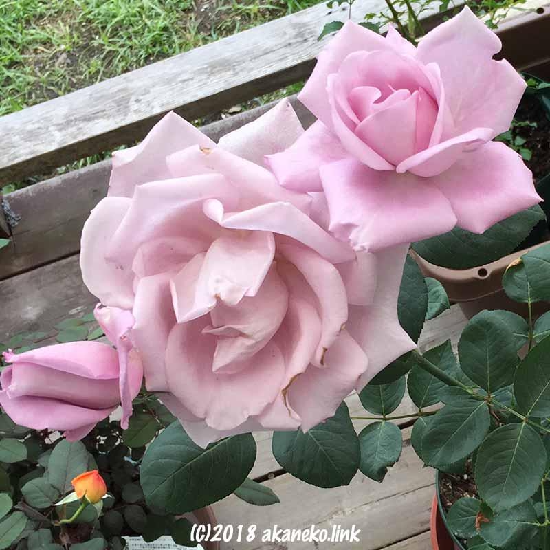 ブルームーン(バラ)の花