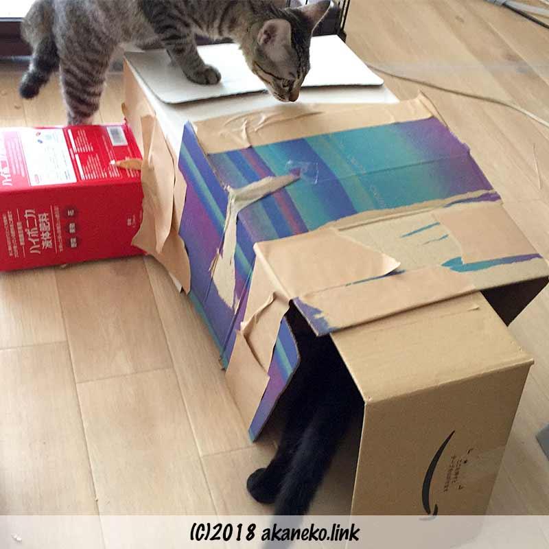ダンボールハウスをチェックする子猫たち