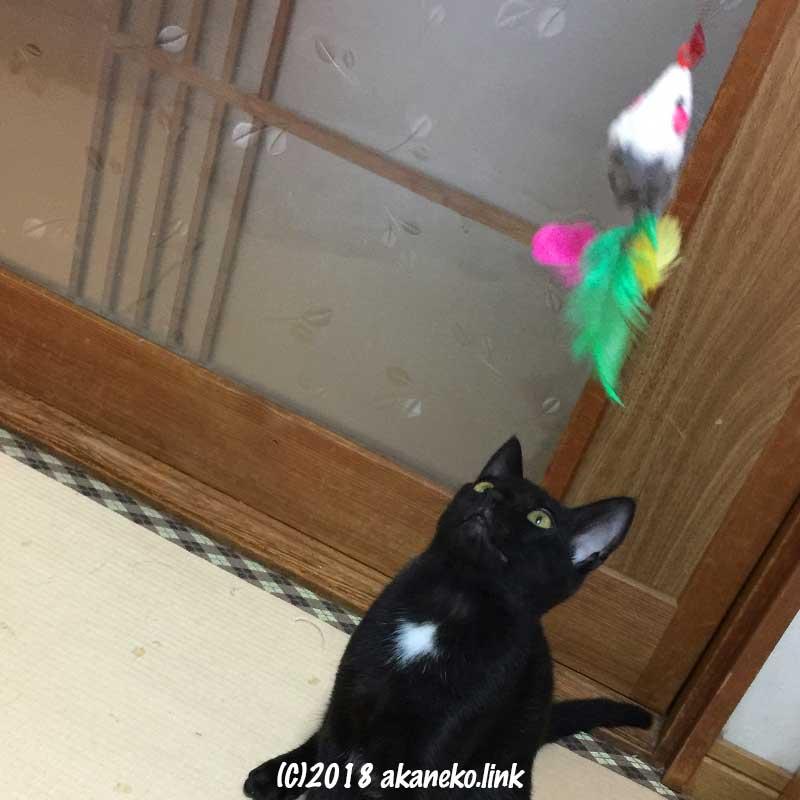 猫じゃらしを見上げる黒い子猫