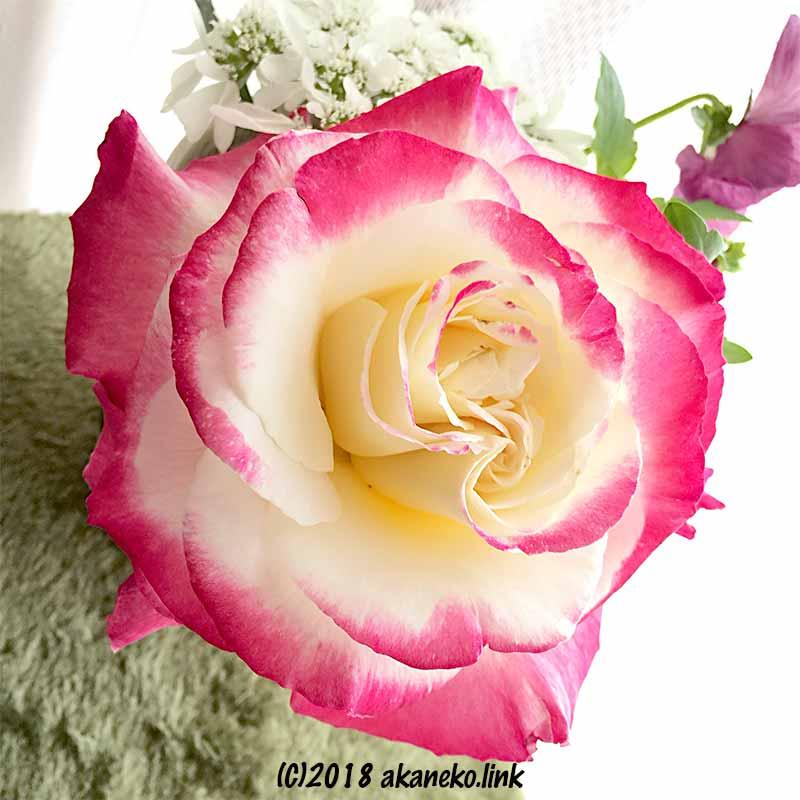 ダブルデライト(バラ)の切り花