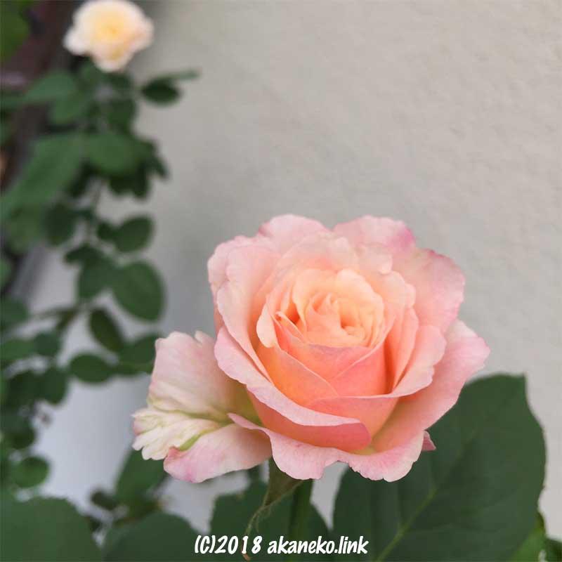 薄ピンクのダブルデライト(バラ)