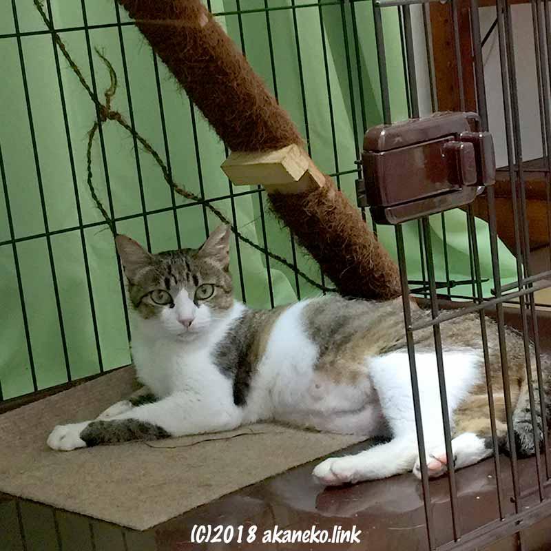 ケージの中に寝てこちらを見るキジ猫