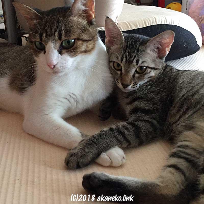 キジ白の母猫に寄り添うキジの子猫