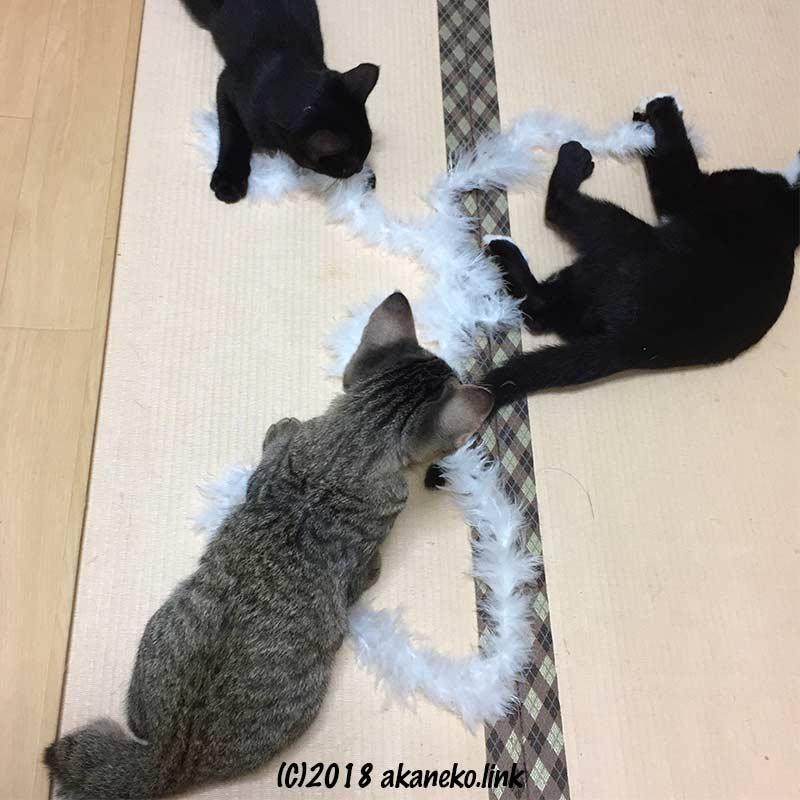 紐で遊ぶ3匹の子猫