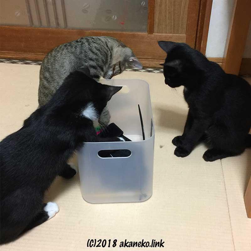 箱を覗き込む3匹の子猫