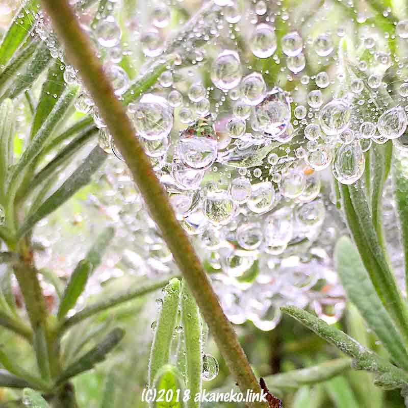 ラベンダーの上の蜘蛛の巣についた雨粒
