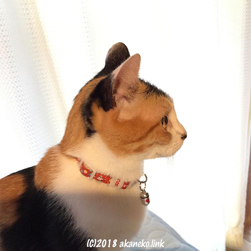 子猫っぽい三毛猫の横顔