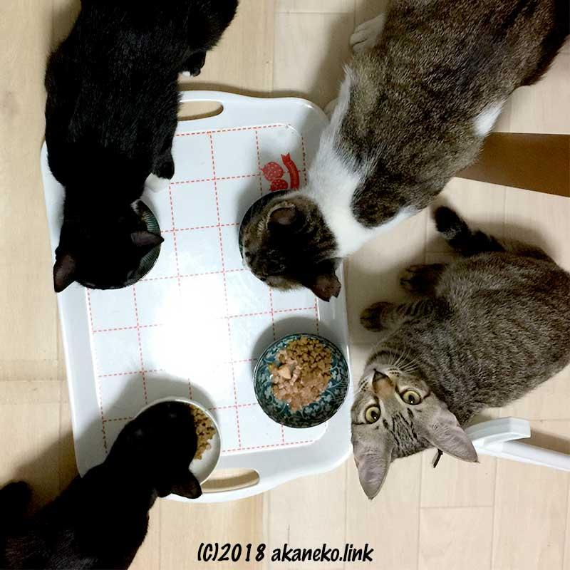食事中の4匹の猫