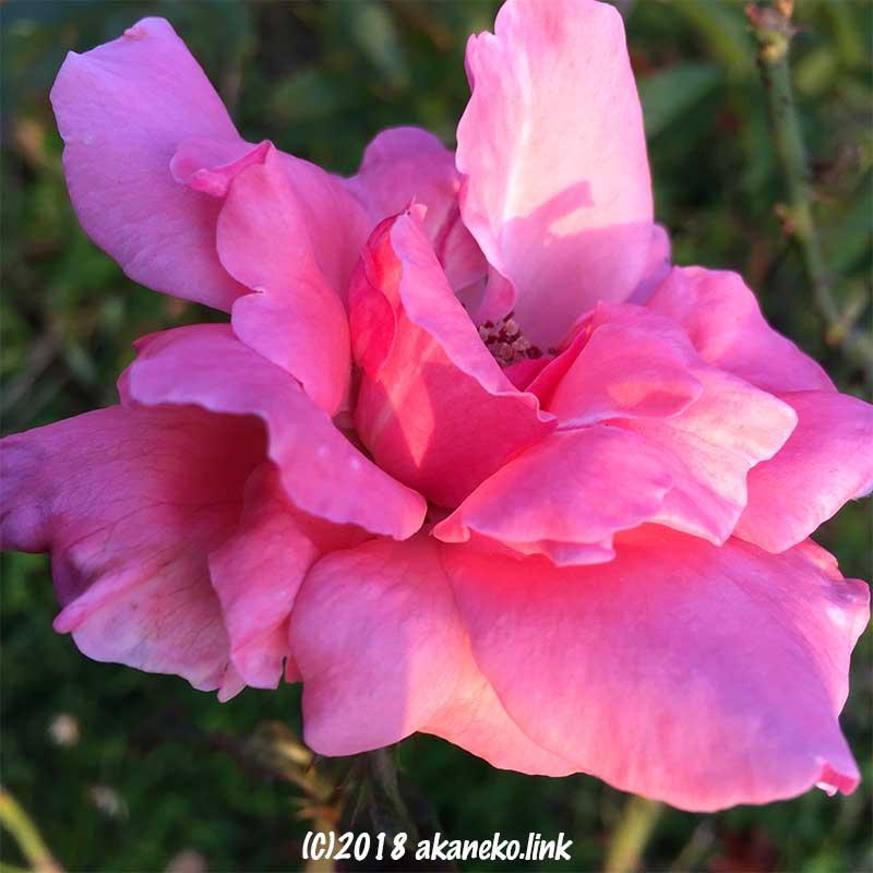クイーンエリザベス(バラ)の花