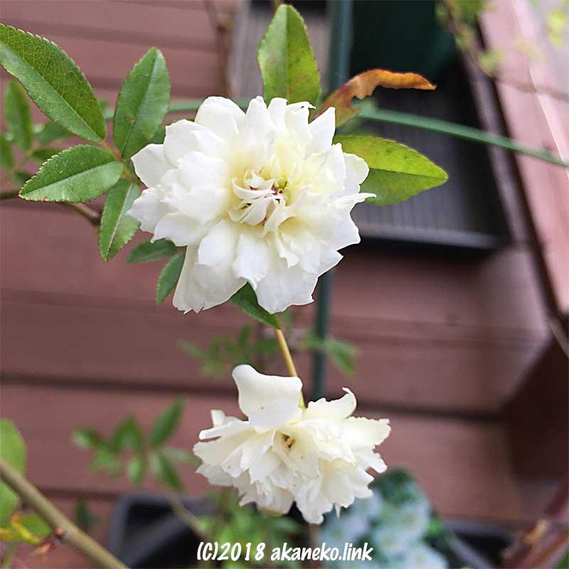 白モッコウバラ(八重)の花