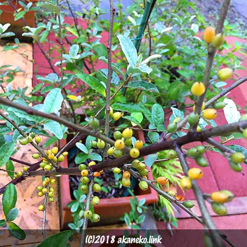 ロシアンオリーブの色づき始めた果実