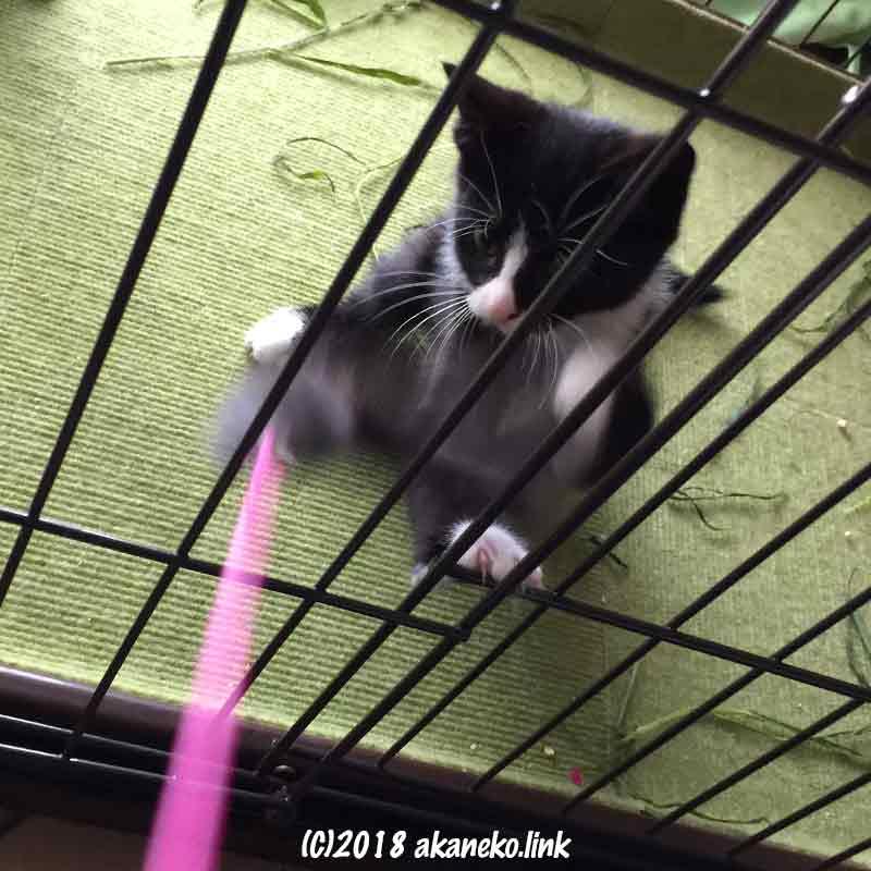 猫じゃらしで遊ぶケージの中の子猫