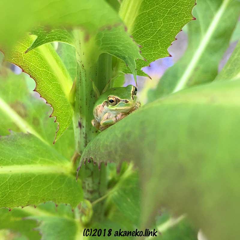 アキノノゲシの葉の上のニホンアマガエル