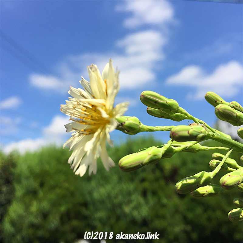 青空とアキノノゲシの初花