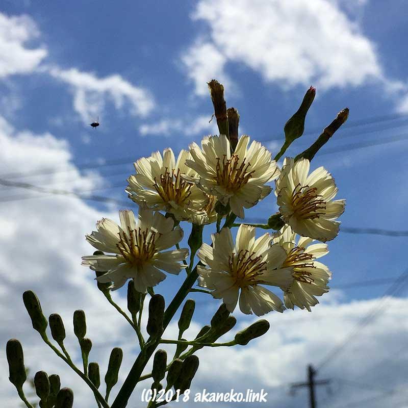 青空とアキノノゲシ房咲き