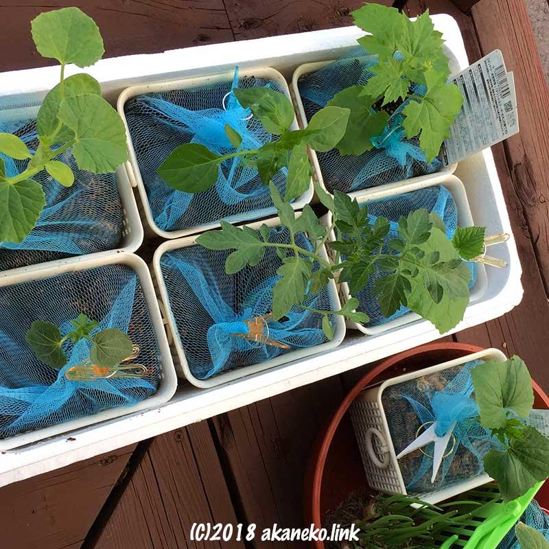 水耕栽培用土に苗をセット
