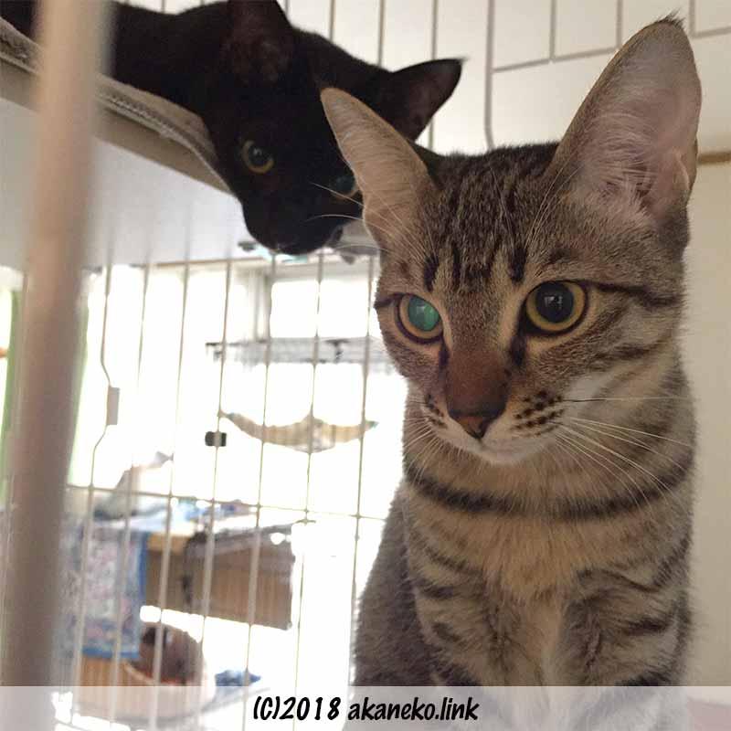 ケージの中の2匹の子猫