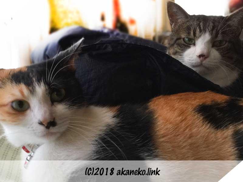三毛猫とキジ白猫