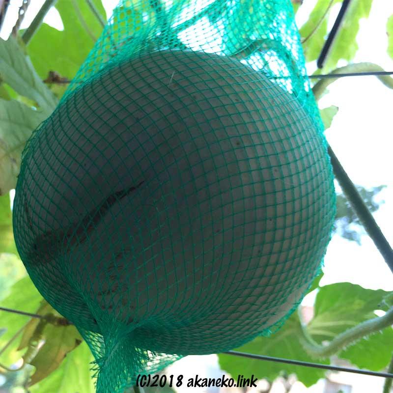 水耕栽培 ネットの中でツル落ちした完熟プリンスメロン