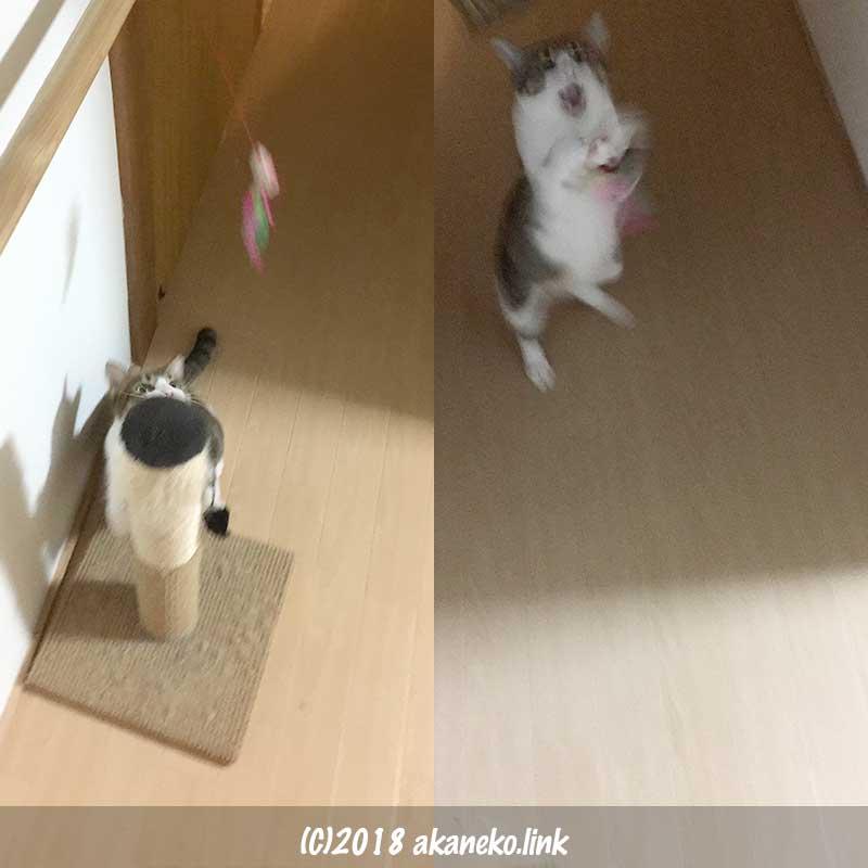 廊下で猫じゃらしであそぶ猫