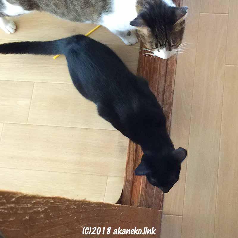 敷居の上で廊下の様子をうかがう2匹の猫