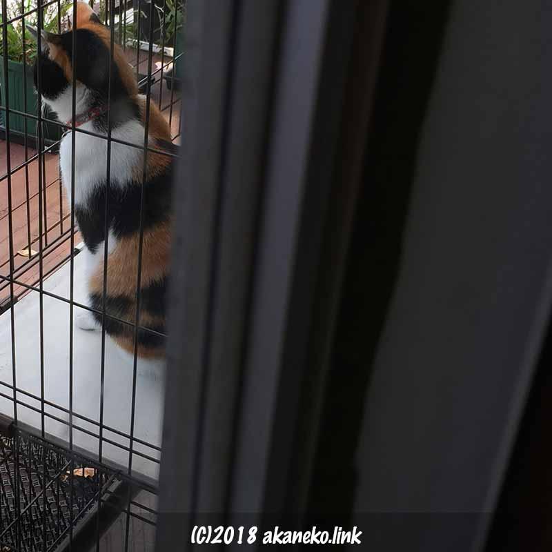 ケージから外を見る三毛猫