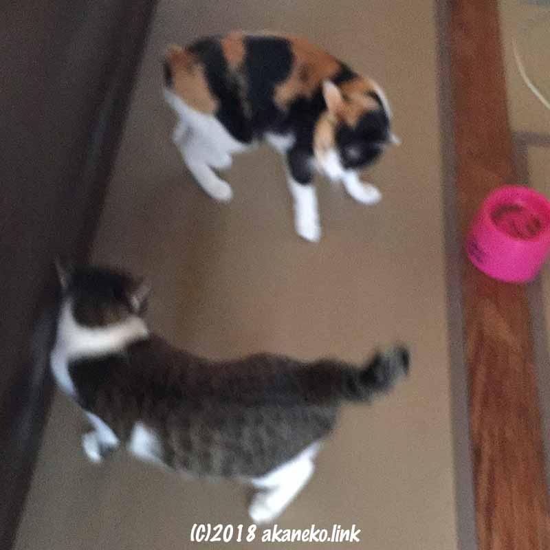 先住猫vs.元野良猫
