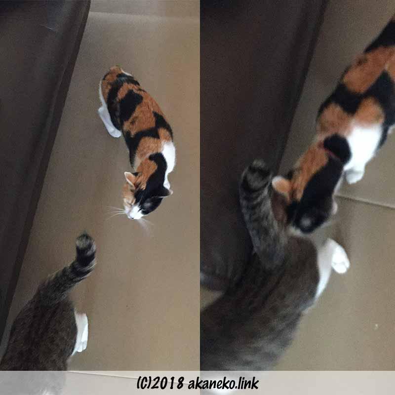 キジ猫のお尻をクンクンする三毛猫
