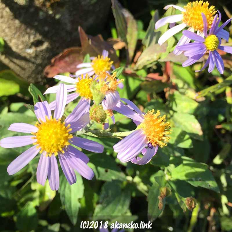 薄紫の野菊の花