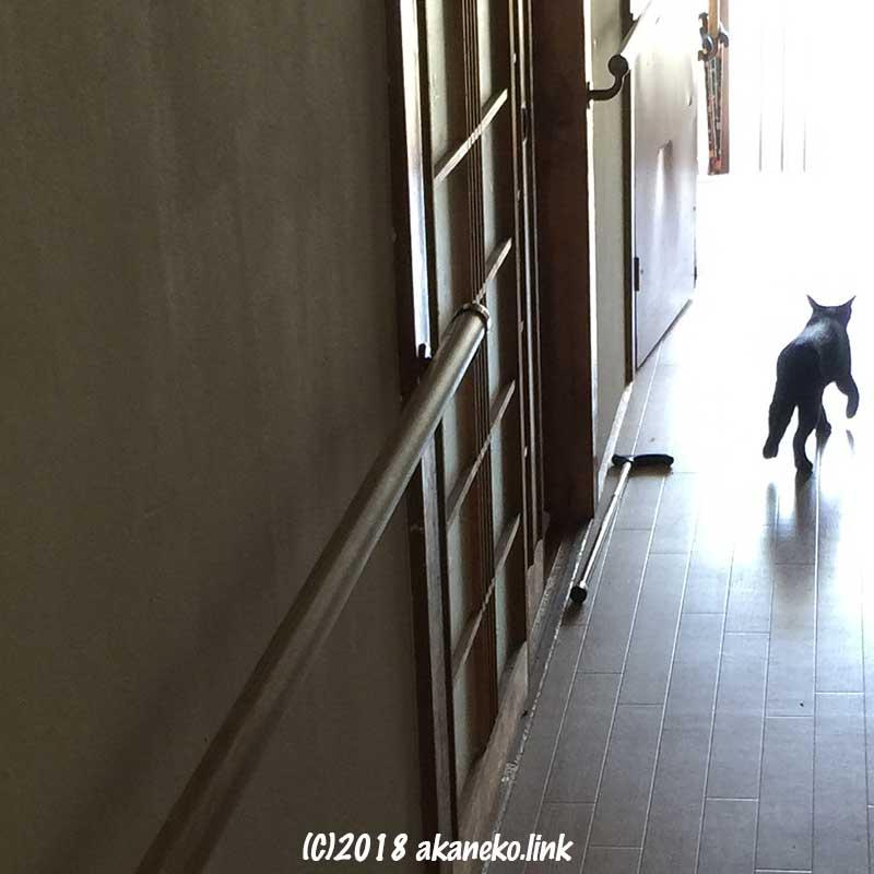 廊下を走る猫