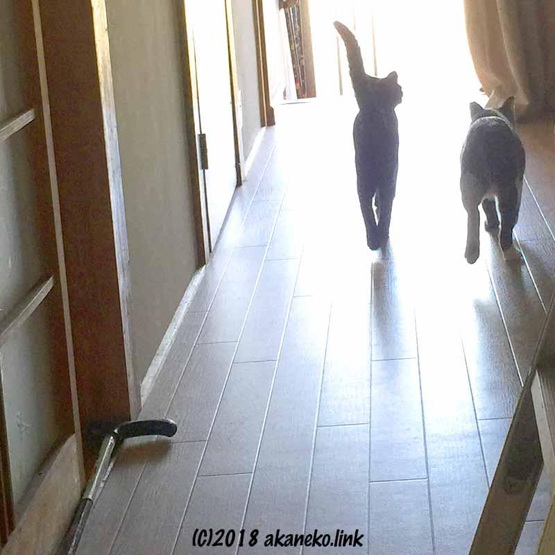 光に向かって廊下を歩く2匹の猫