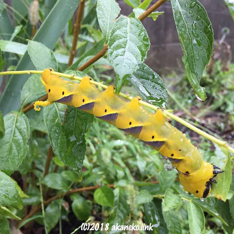 雨の中白式部の葉を食べるクロメンガタスズメの幼虫