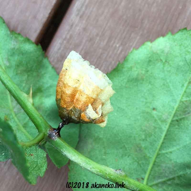 バラの茎のアシナガバチの巣