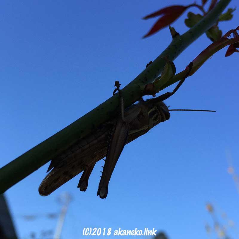 バラの枝にとまるバッタのシルエット