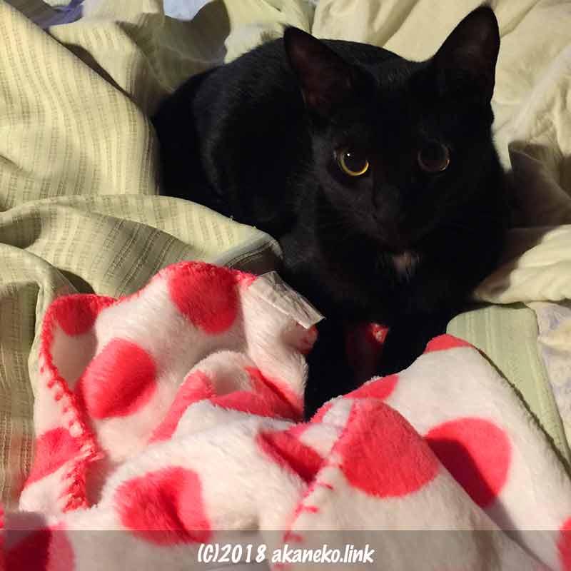 こちらを見つめる黒い子猫