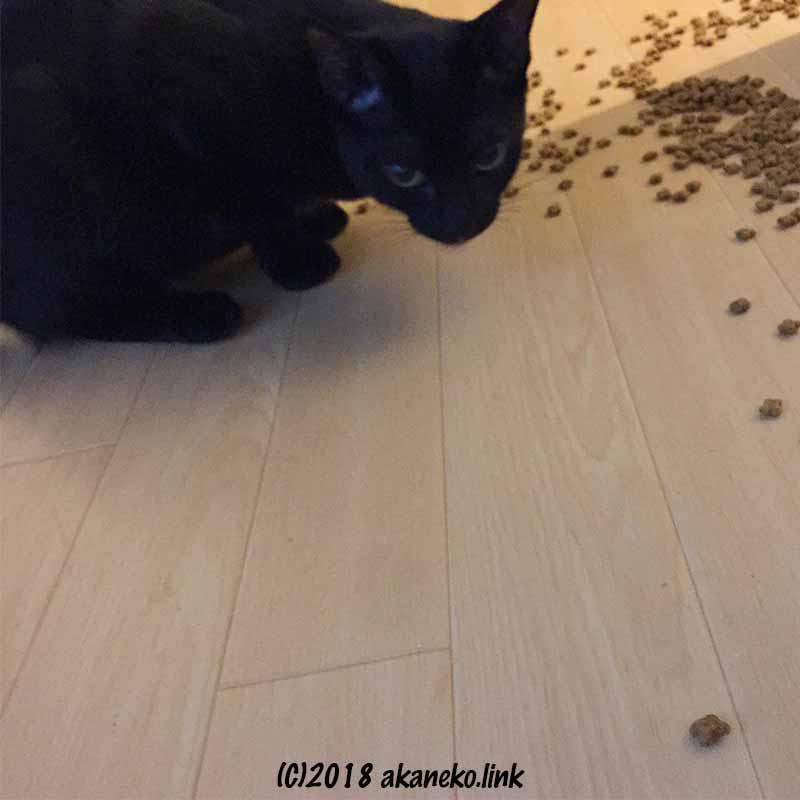 廊下にこぼれたキャットフードを食べる黒い子猫