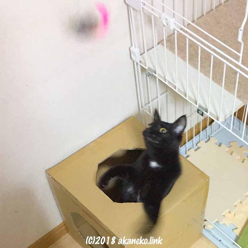 ダンボールから身を乗り出す黒猫