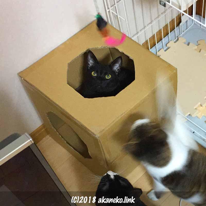 ダンボールと猫じゃらしと3匹の猫