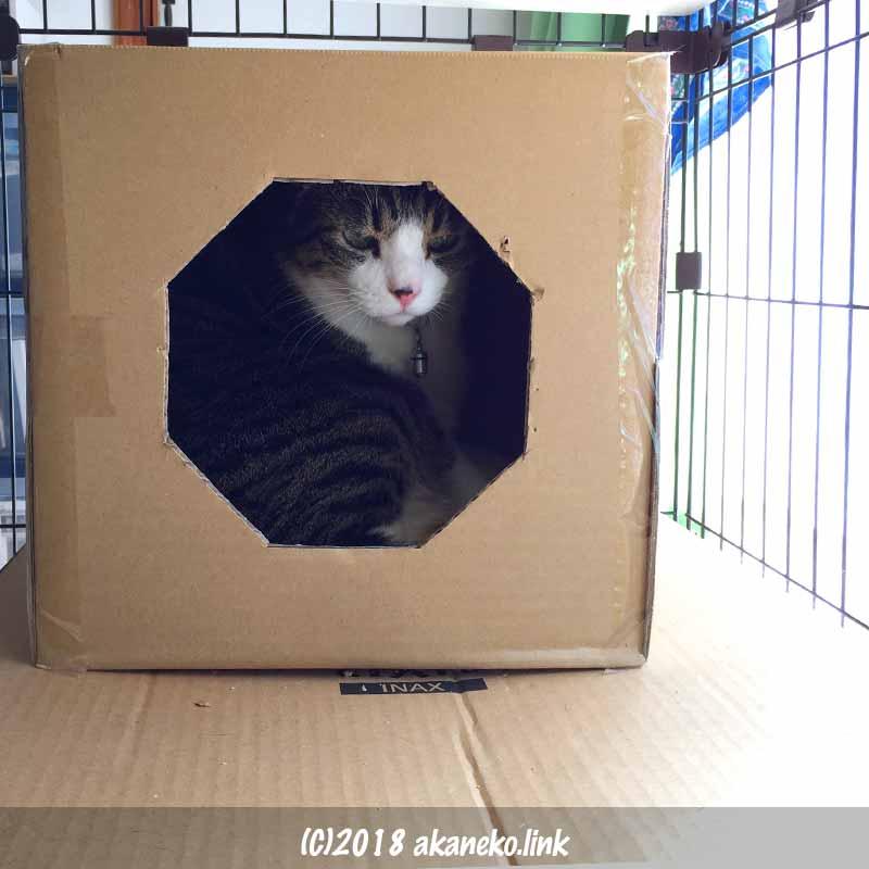 ダンボールの中のキジ猫