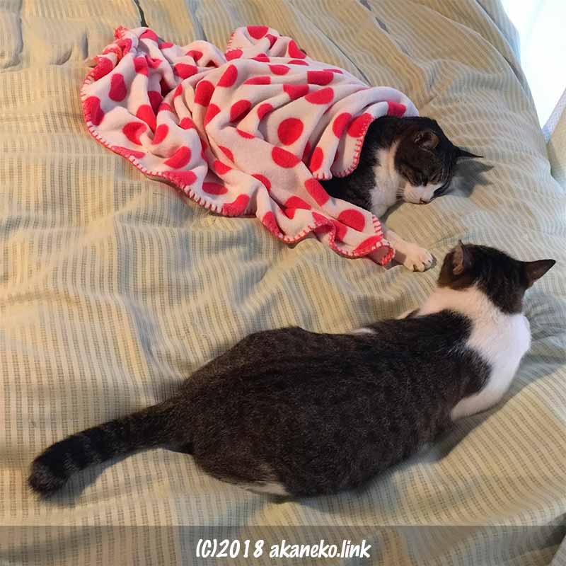 ベッドに寝る2匹のキジ白猫