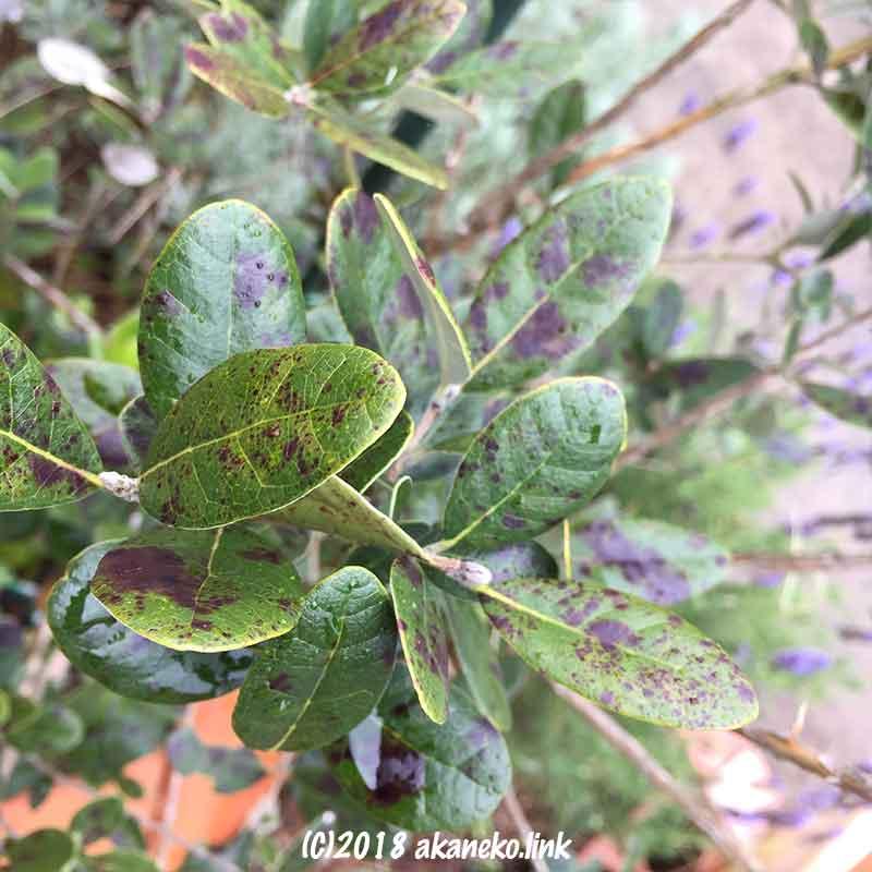 フェイジョアの葉の赤い斑点