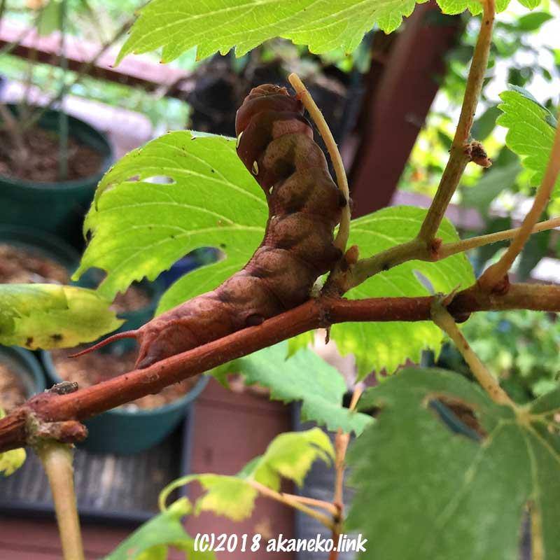 ブドウの葉を食べるコスズメの幼虫