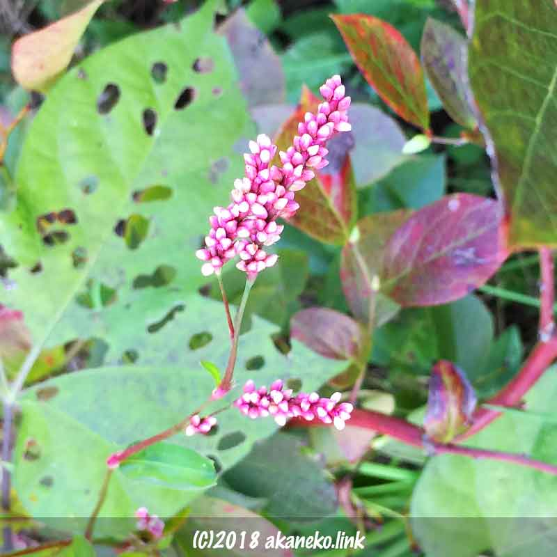 イヌタデ(赤まんま)のピンクの花