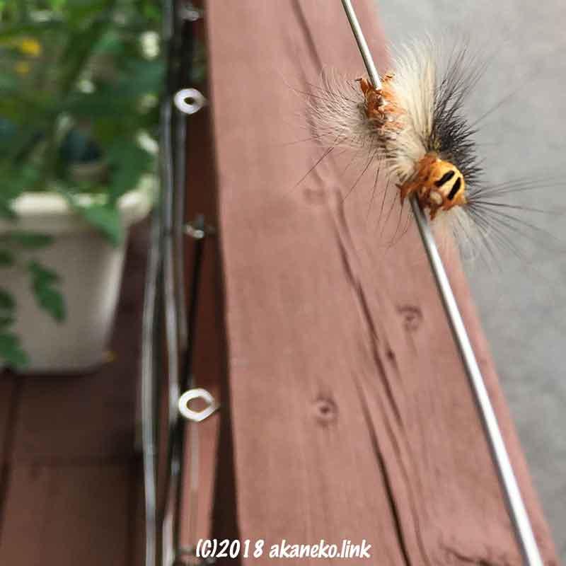 ワイヤーを歩くマイマイ蛾の幼虫