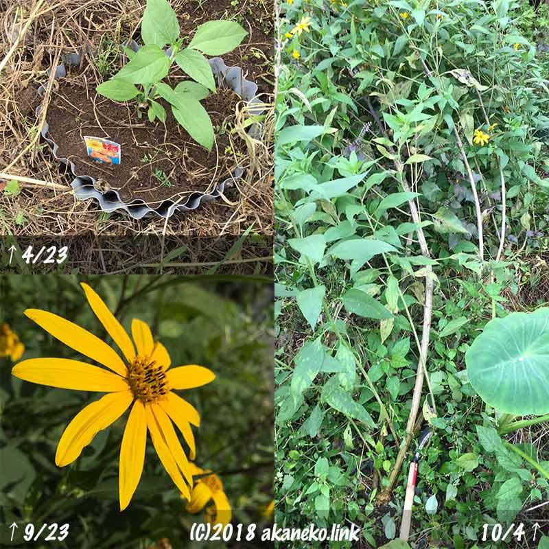 菊芋(キクイモ)の植え付け、花